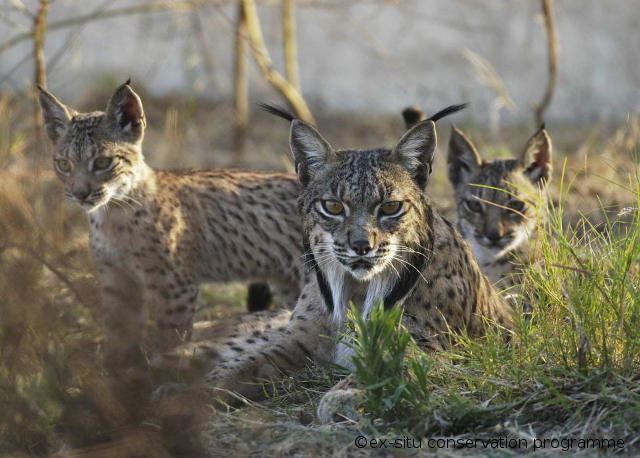 Iberian_Lynx_mother_with_two_cubs - with credits, shrunk